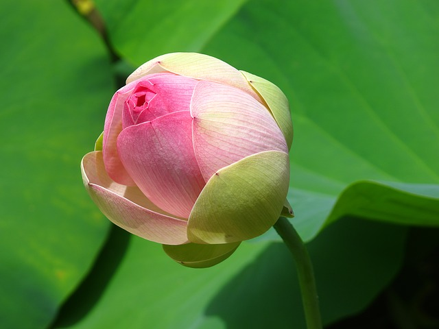 The Lotus Flower Peace Rebirth And Creation Ohio Idol